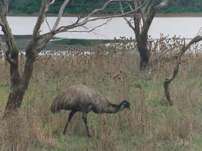 emu foraging by lake